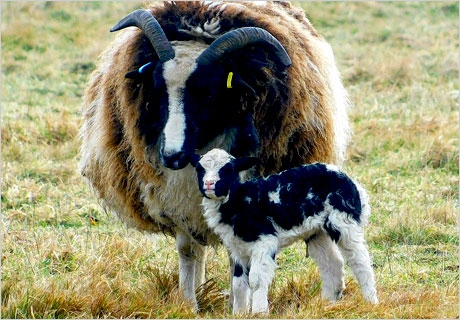 Spring Lambing Update: The welcome of new arrivals