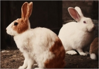 Pinch, punch, 1st day of the month, White rabbits